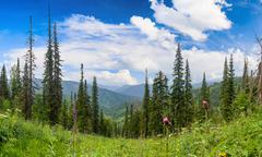 coniferous forest in the mountains - stock photo