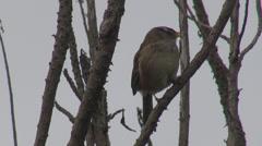Sparrow bird rest relax branch tree wildlife nature wild avian stick calm hunter - stock footage