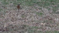 Small brown bird search food dry grass wilderness hungry famine habitat autumn  Stock Footage