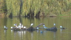 Group bird seagull wild rest branch tree pond lake forest meadow water summer  Stock Footage