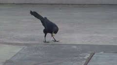 Blackbird raven crow eat bread ground bird wildlife avian predator hungry wild Stock Footage
