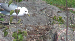 Seagull female bird protection nest egg wilderness nature family rock stone wild Stock Footage