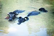 Stock Photo of three black buffalo swimming