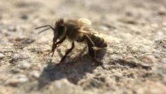 Macro Bee 2 Stock Footage