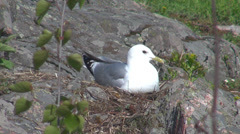 Female seagull bird hatch nest egg reproduction spring day protection family  Stock Footage