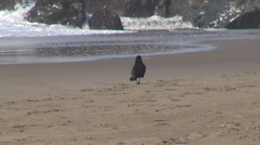 Raven crow bird looking search food isolated sandy beach wave rock ocean sea day Stock Footage