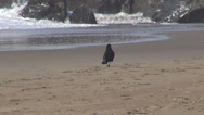 Stock Video Footage of Raven crow bird looking search food isolated sandy beach wave rock ocean sea day