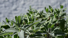 Sage, Salvia officinalis Stock Footage