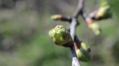 Early flowering branch of apple-tree Stock Footage