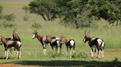 Bontebok antelopes, African wildlife safari, South Africa - stock footage