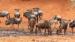 Wildebeest at waterhole, African wildlife safari, South Africa Stock Footage
