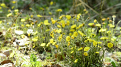 Coltsfoot in a German forest Stock Footage