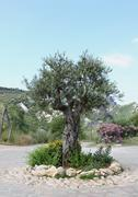 olive tree in spring - stock photo