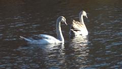 Two swans on the pond Stock Footage