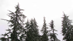 White Sky Snow and Evergreen Trees Stock Footage