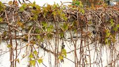 Wild grapes branches in the spring Stock Photos