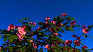 Stock Illustration of A bush of wild roses against the blue sky
