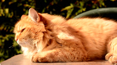 Gold cat basking in the sun Stock Footage