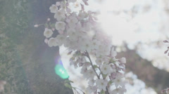 Cherry Spring Blossom Tree Flowers Sunshine - 29,97FPS NTSC Stock Footage