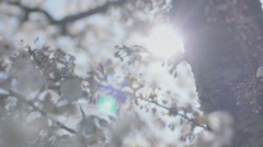 Radiating Sun Behind Spring Blossom Tree - 29,97FPS NTSC Stock Footage
