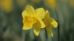 Daffodil Protecting Other Narcissus from Wind Medium Close up - 29,97FPS NTSC Stock Footage