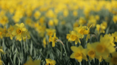 Yellow Trumpet Narcissus Daffodils Trembling in the Wind - 29,97FPS NTSC Stock Footage