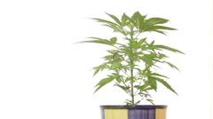 Medical marijuana in flowerpot Stock Footage