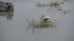 Lone Pelican swimming in polluted lake - stock footage