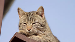 Domestic cat Stock Footage