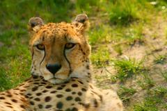 Cheetah (acinonyx jubatus) looking Stock Photos