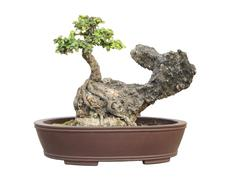 the azalea bonsai tree in a pot isolated on white background. - stock photo