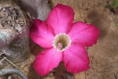 Adenium aka Desert Rose flower - stock photo