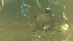 Fresh water turtle Stock Footage