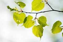 green tilia leaves - stock photo