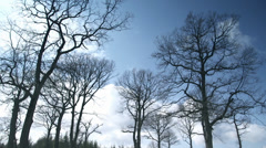 Huge trees without leaves clouds moving above the trees Stock Footage