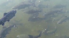 Swimming trout - stock footage