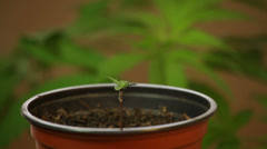 Cannabis seedling Stock Footage