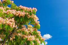 pink blossom acacia tree brunches - stock photo