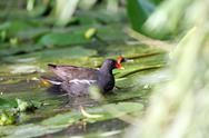 Stock Photo of female common moorhen ( gallinula chloropus )