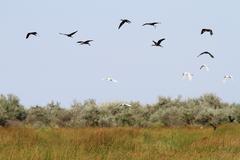 Flock of wild birds ( ardea alba, plegadis falcinellus) Stock Photos