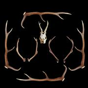 deer hunting trophies ( red and roe deer, cervus elaphus, capreolus ) - stock photo