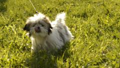 Shih tzu dog in the grass- slow motion Stock Footage