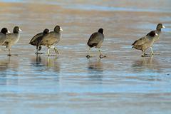 birds walking on frozen surface of the  lake - stock photo
