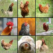 Kuvia maatilan lintujen Kuvituskuvat