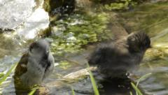 Two noisy sparrows bathing - stock footage