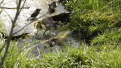 Noisy sparrows bathing - stock footage