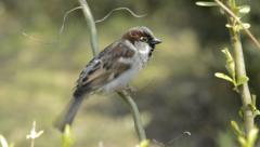 Sparrow cleaning its plumage - stock footage