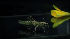 Locust on a reflective floor - stock footage