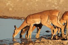 Impala antelopes at waterhole Stock Photos