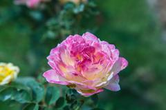 multi-colored roses - stock photo